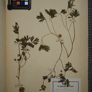 Photographie n°1208895 du taxon Corydalis solida (L.) Clairv. [1811]