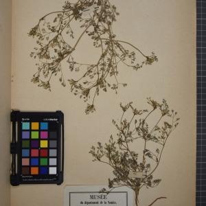 Photographie n°1208900 du taxon Fumaria parviflora Lam. [1788]