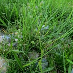 - Camelina sativa subsp. pilosa (DC.) N.W.Zinger [1908]