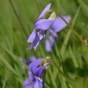 Photographie n°1213584 du taxon Viola riviniana Rchb.