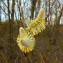 Guy Lecq - Salix caprea L.
