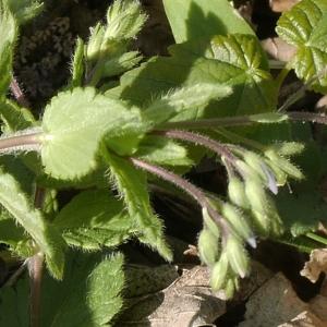 Photographie n°1218476 du taxon Veronica chamaedrys L. [1753]