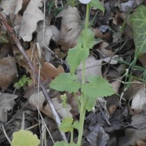 Photographie n°1218599 du taxon Lunaria annua L.