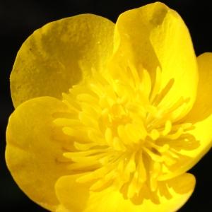 Photographie n°1218844 du taxon Ranunculus bulbosus L. [1753]