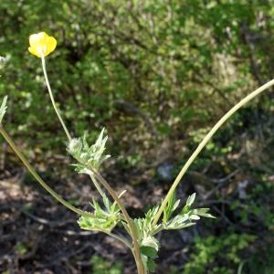 Photographie n°1218848 du taxon Ranunculus bulbosus L. [1753]