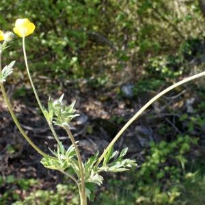 Photographie n°1218850 du taxon Ranunculus bulbosus L. [1753]