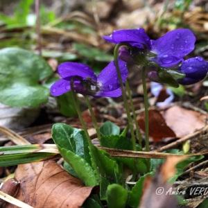 Photographie n°1226120 du taxon Viola hirta L. [1753]