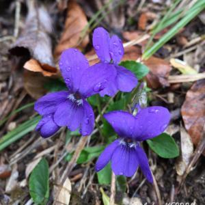 Photographie n°1226128 du taxon Viola hirta L. [1753]