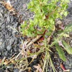 Photographie n°1227245 du taxon Euphorbia peplus L. [1753]