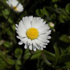 Photographie n°1228740 du taxon Bellis perennis L. [1753]