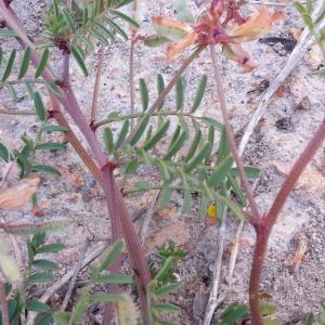 Photographie n°1228787 du taxon Hedysarum glomeratum F.Dietr.