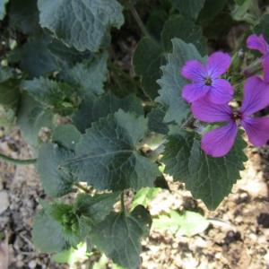 Photographie n°1229607 du taxon Lunaria biennis Moench