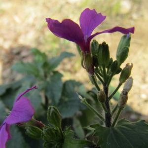 Photographie n°1229611 du taxon Lunaria biennis Moench