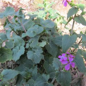 Photographie n°1229618 du taxon Lunaria biennis Moench