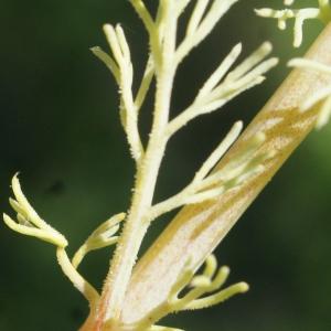 Photographie n°1229870 du taxon Platycapnos spicata (L.) Bernh.
