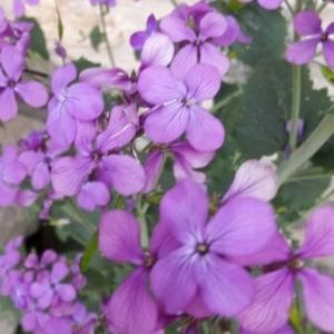 Photographie n°1234166 du taxon Lunaria annua L. [1753]