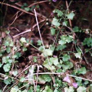 - Wahlenbergia hederacea (L.) Rchb.