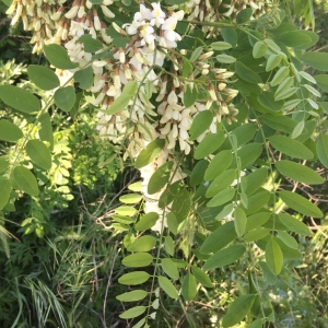 Photographie n°1239743 du taxon Robinia pseudoacacia L.