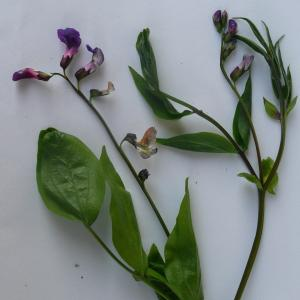 - Lathyrus vernus f. vernus