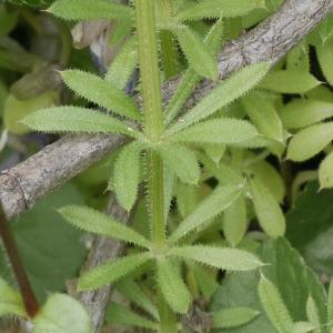 Photographie n°1241086 du taxon Galium aparine L.