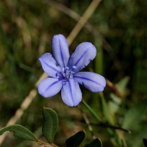 Aphyllanthes monspeliensis L. (Aphyllanthe de Montpellier)