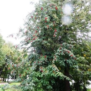Photographie n°1244178 du taxon Sorbus aucuparia subsp. aucuparia