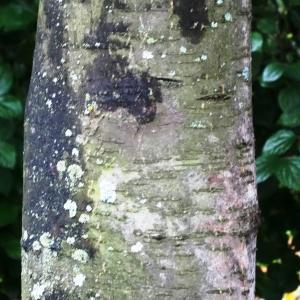 Photographie n°1244200 du taxon Sorbus aucuparia subsp. aucuparia