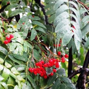 Photographie n°1244203 du taxon Sorbus aucuparia subsp. aucuparia