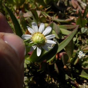 Photographie n°1245417 du taxon Anthemis arvensis subsp. glabra (Rouy) Jeanm. [1998]