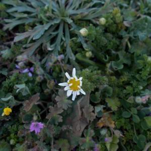 Photographie n°1245419 du taxon Anthemis arvensis subsp. glabra (Rouy) Jeanm. [1998]