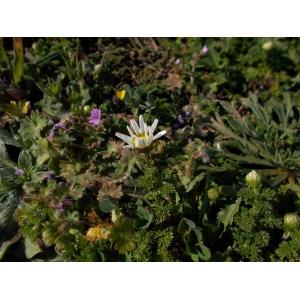 Anthemis arvensis subsp. glabra (Rouy) Jeanm.