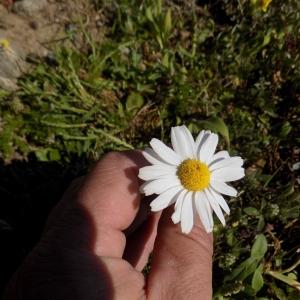 - Anthemis arvensis subsp. glabra (Rouy) Jeanm. [1998]