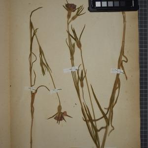 Photographie n°1246076 du taxon Lychnis githago (L.) Scop. [1771]