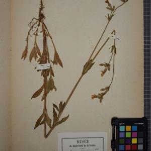 Photographie n°1246078 du taxon Lychnis vespertina Sibth. [1794]