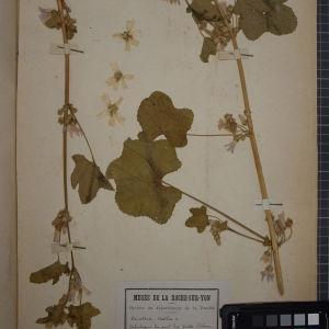 Photographie n°1246093 du taxon Lavatera cretica L. [1753]