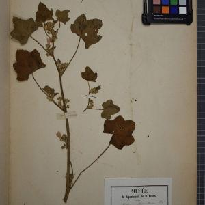 Photographie n°1246094 du taxon Malva mamillosa J.Lloyd [1854]