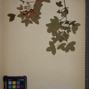 Photographie n°1246120 du taxon Acer monspessulanum L. [1753]