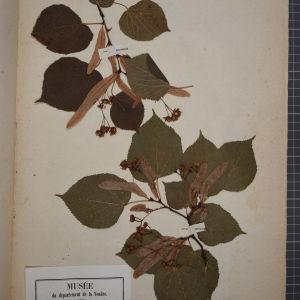 Photographie n°1246121 du taxon Tilia grandifolia Ehrh. ex W.D.J.Koch [1837]