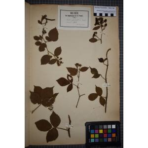 Rubus glandulosus Bellardi (Ronce de Bellardi)