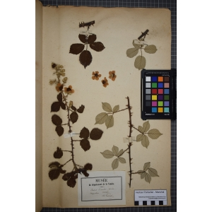 Rubus discolor Weihe & Nees (Ronce discolore)