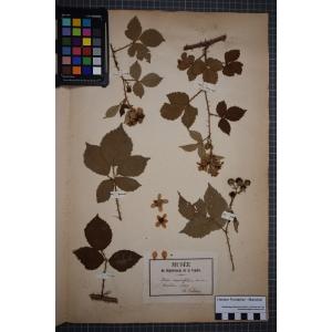 Rubus carpinifolius Weihe & Nees