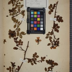 Photographie n°1246172 du taxon Rosa rubiginosa, L.