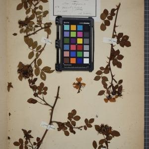 Photographie n°1246173 du taxon Rosa rubiginosa, L.