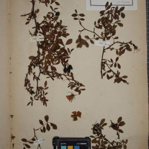 Photographie n°1246175 du taxon Rosa sepium Thuill. [1799]