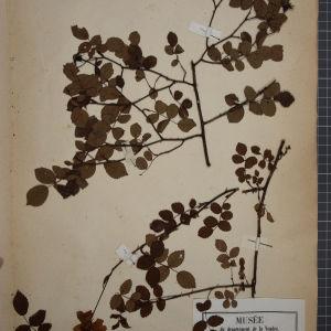 Photographie n°1246180 du taxon Rosa arvensis, L.