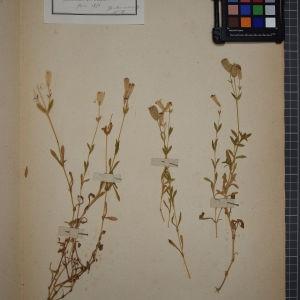 Photographie n°1246210 du taxon Silene maritima With. [1796]