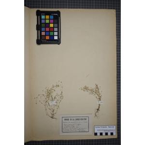 Sagina apetala Ard. subsp. apetala (Sagine apétale)