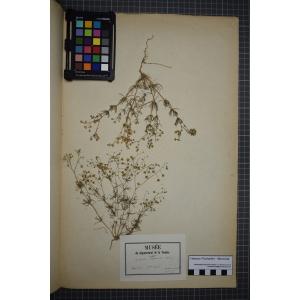 Spergula vulgaris Boenn. (Spargoute des champs)