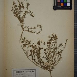 Photographie n°1246254 du taxon Arenaria marina (L.) All. [1785]