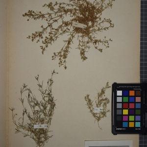 Photographie n°1246258 du taxon Arenaria rubra L. [1753]